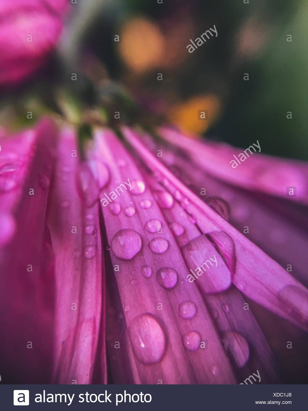 Nahaufnahme von Regentropfen auf rosa Blume Stockbild