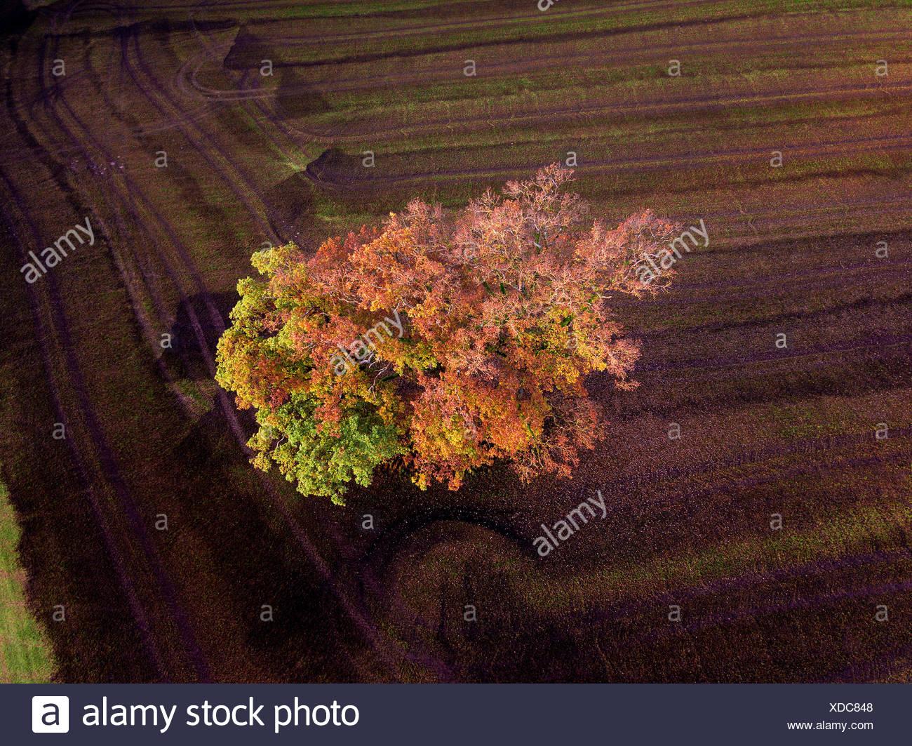 Bunte Felder im Herbst; Landsberieder, farbenfrohe Buche, einzelner Baum auf dem Feld, gedüngtes Feld, Odell, Gülle; Fürstenfeldbruck; Bayern; Deutschl Stockbild