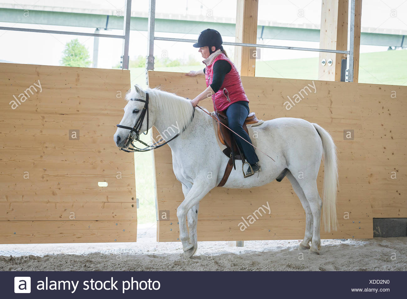German Riding Pony Reiter White pony Openning die Tür Reithalle Stockbild