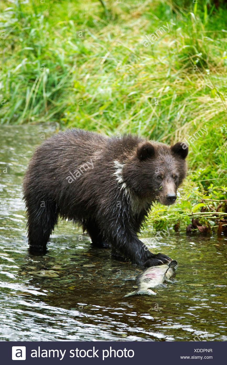 Grizzly Cub Fang von Fischen In Fish Creek; Hyder, Alaska, Vereinigte Staaten von Amerika Stockbild