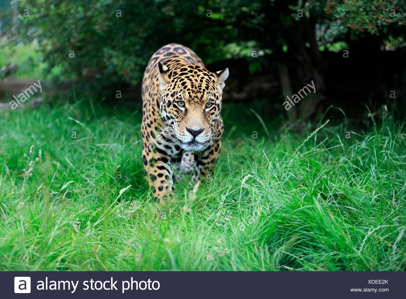 Jaguar (Panthera Onca), Erwachsene, stalking, stammt aus Südamerika, Gefangenschaft, England, Vereinigtes Königreich Stockbild