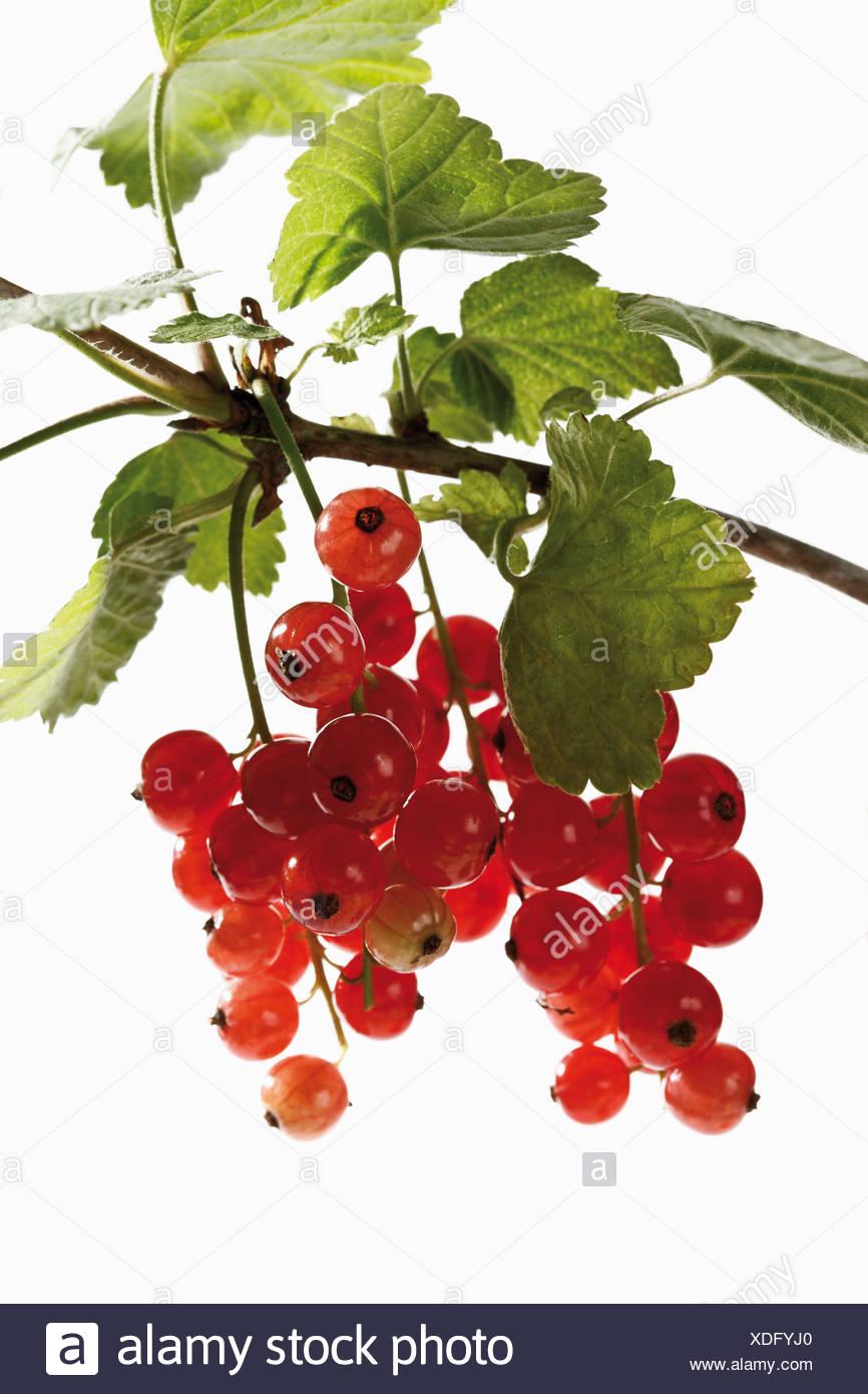 Rote Johannisbeere (Ribes Rubrum) auf Ast, Nahaufnahme Stockbild