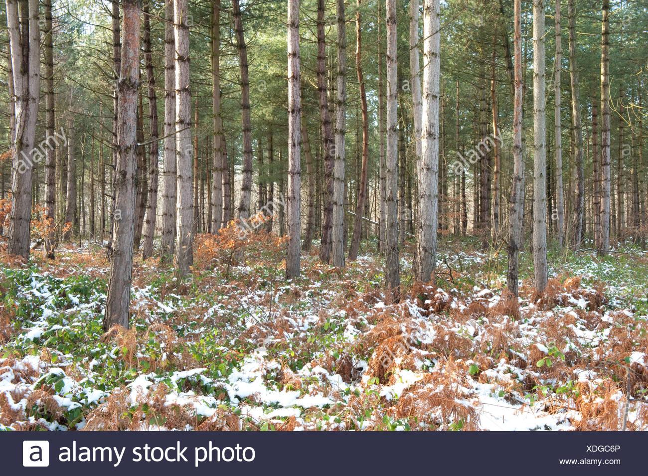 Kiefer Bäume Thornden Woodlands Kent UK Stockbild