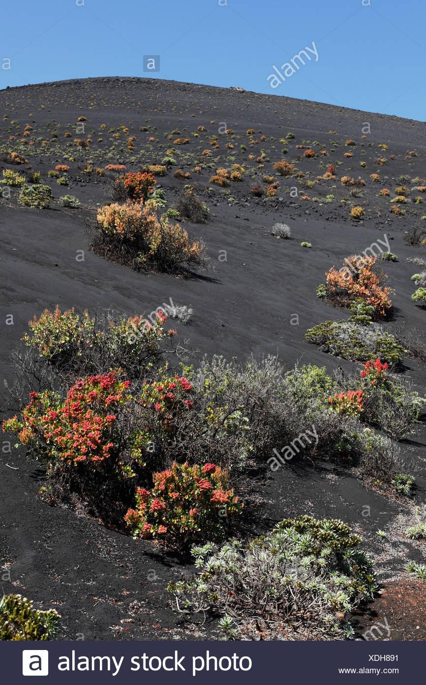 Macchia Vegetation am Vulkan San Antonio, La Palma, Kanarische Inseln, Spanien, Europa Stockbild