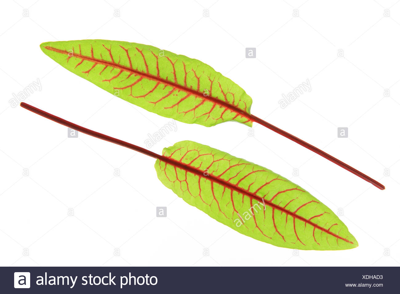 Blut-Ampfer (Rumex Sanguineus) Stockbild