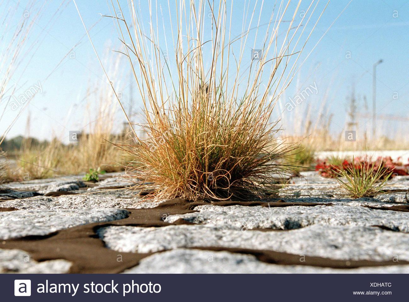 Ein Grasbueschel wächst zwischen den Pflastersteinen Stockbild