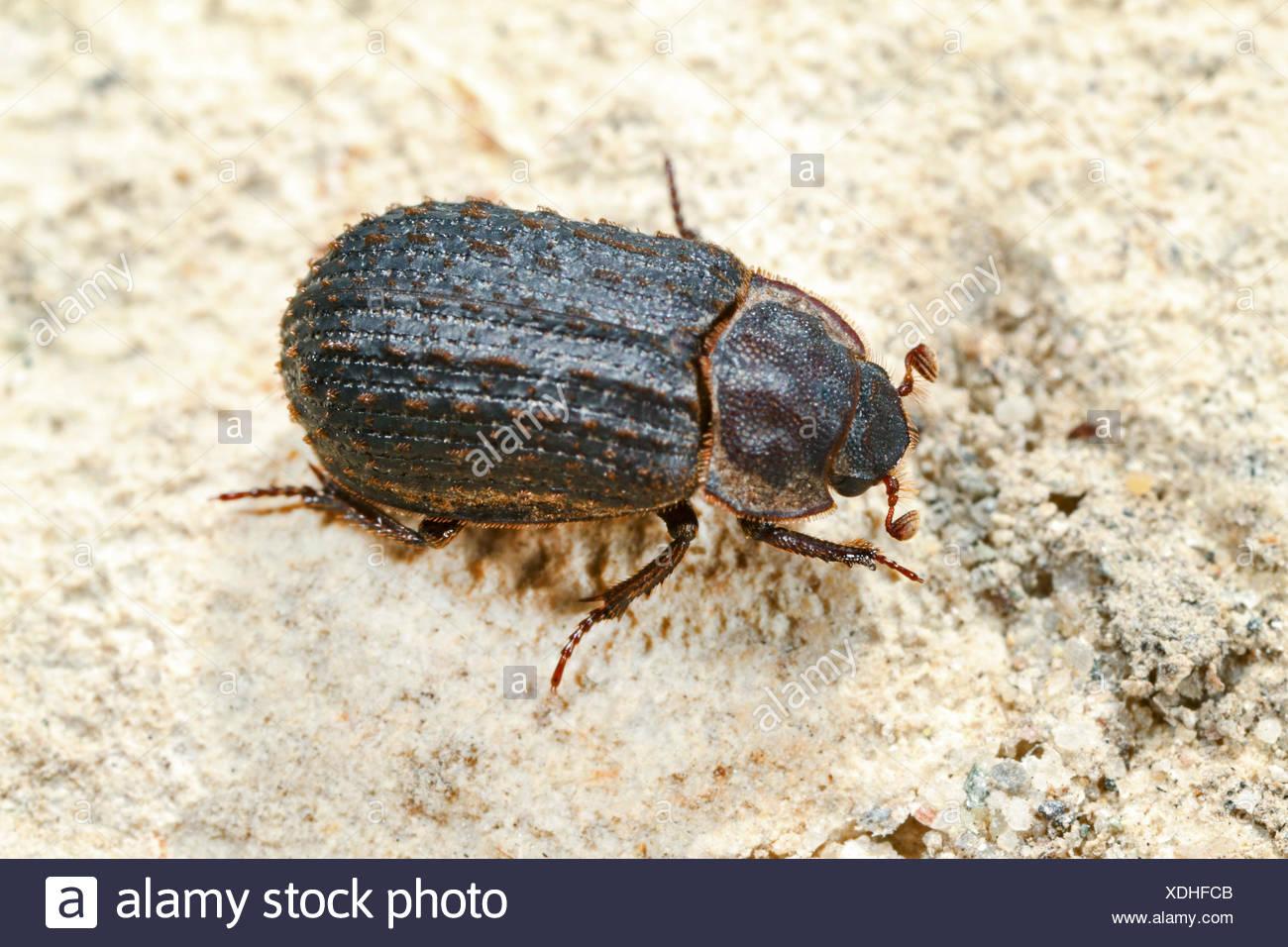 Verstecken Sie Käfer (Trox Scaber, Trox Scabra), Draufsicht, Deutschland Stockbild