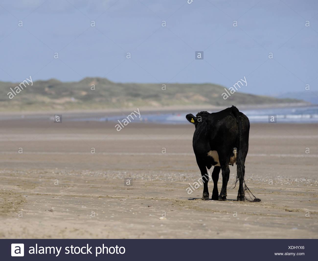 Eine einsame Kuh auf dem Sand am Strand entlang wandern. Stockbild