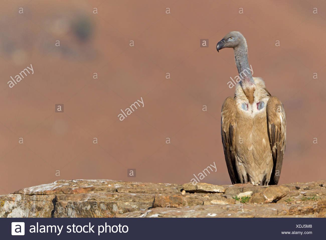 Kap Geier (abgeschottet Coprotheres), sitzt auf einem Felsvorsprung, South Africa, Kwazulu-Natal Stockbild