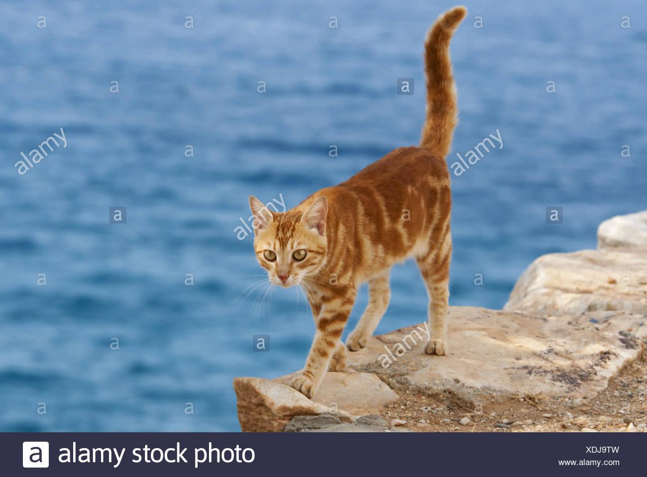 Katze, red classic Tabby, Rand einer Klippe, Cyclades Stockbild