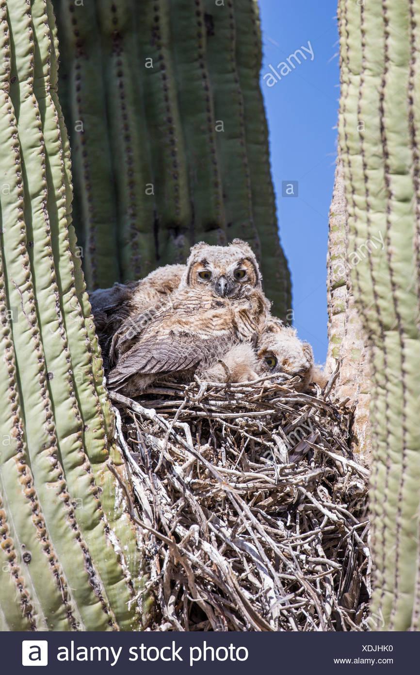 große gehörnte Eule (Bubo Virginianus), Jungvögel im Nest in einem Saguro, Phoenix, Arizona, USA und Sonorawueste Stockbild