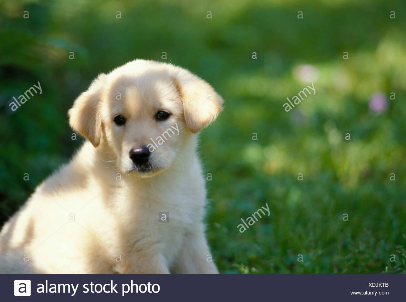 Ein Gelber Labrador Retriever Welpen Mix Sitzen Auf Dem Grunen Rasen Stockfotografie Alamy