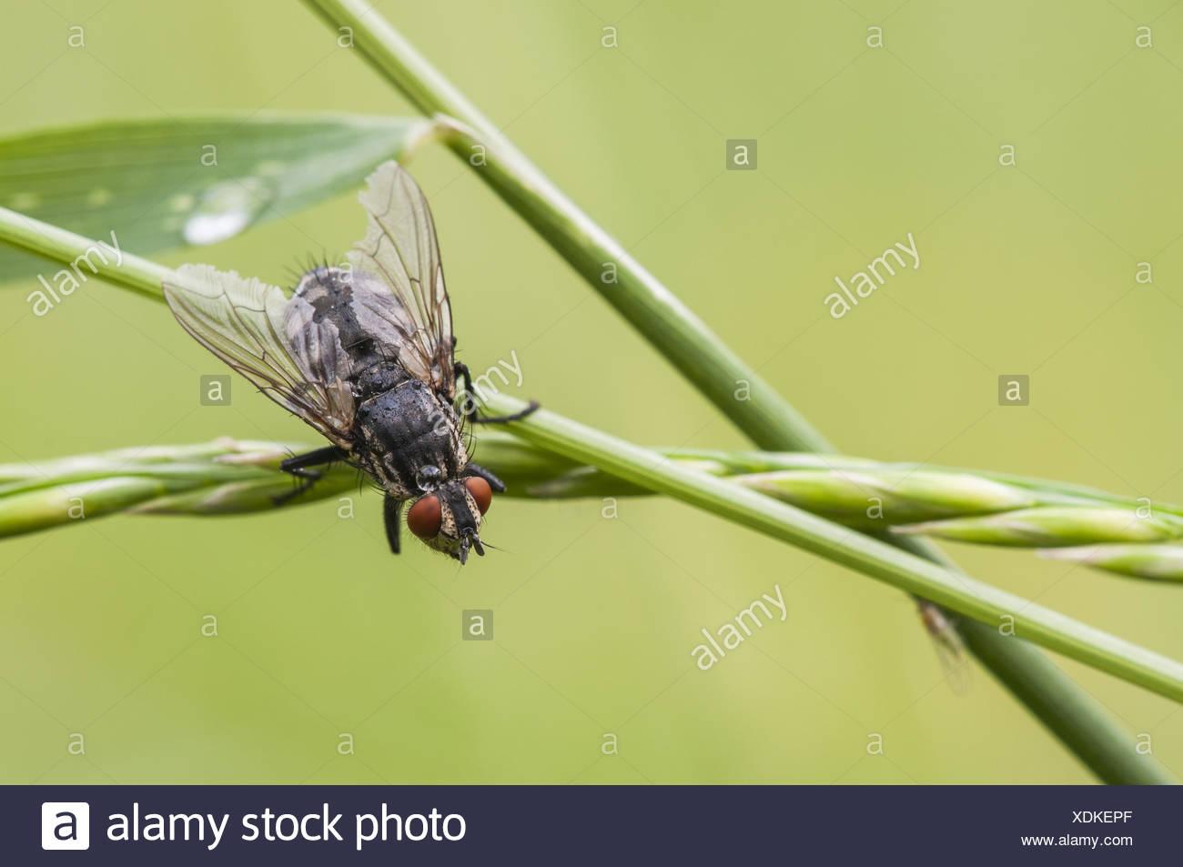 gemeinsamen Fleisch Fly (Sarcophaga Carnaria), Deutschland Stockbild