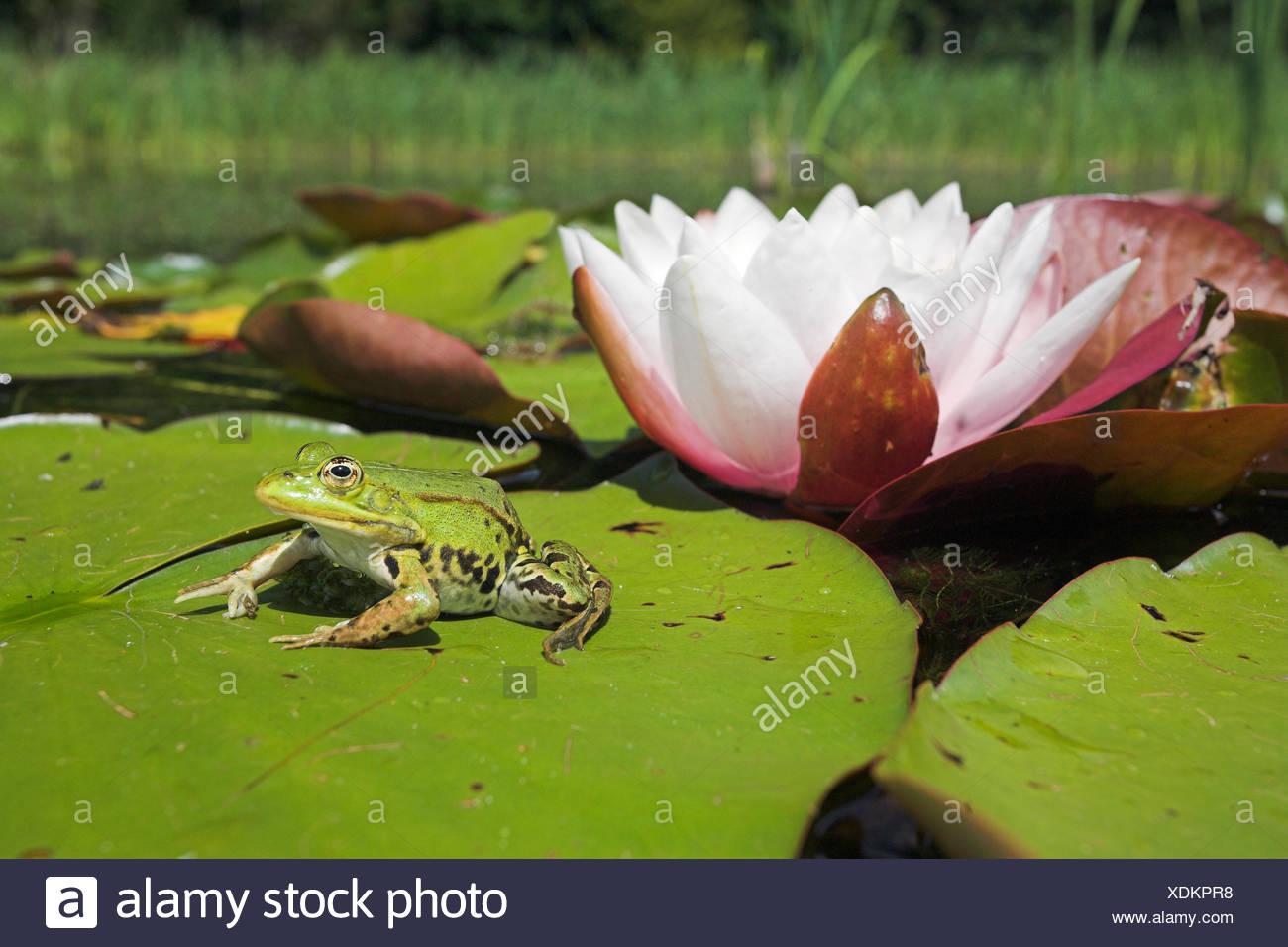 Foto von einem essbaren Frosch sitzt auf einem Blatt des Europäischen weißen Waterlilly mit einer Blume im Hintergrund Stockbild