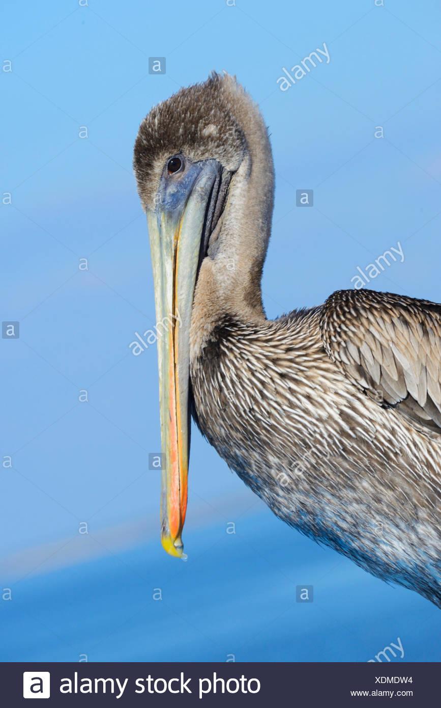 USA, Florida, Levy County, Cedar Key, brauner Pelikan, Pelecanus occidentalis Stockbild