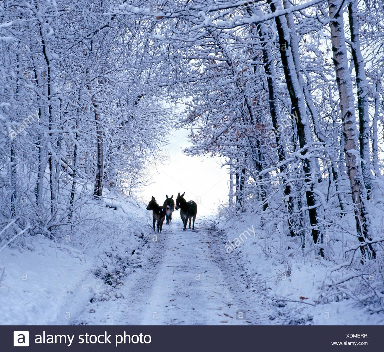 Drei Esel auf tief verschneiten Wald Weg Stockbild