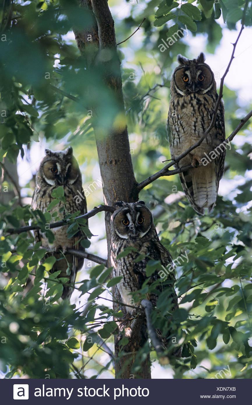 Waldohreule (Asio Otus), thront Eulen auf Ast, Erwachsenen und jungen. Stockbild
