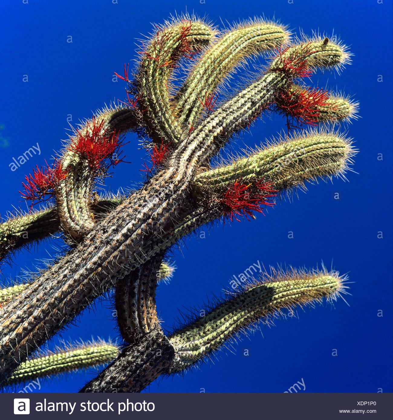 Kaktus in Blüte, Chile Stockfoto