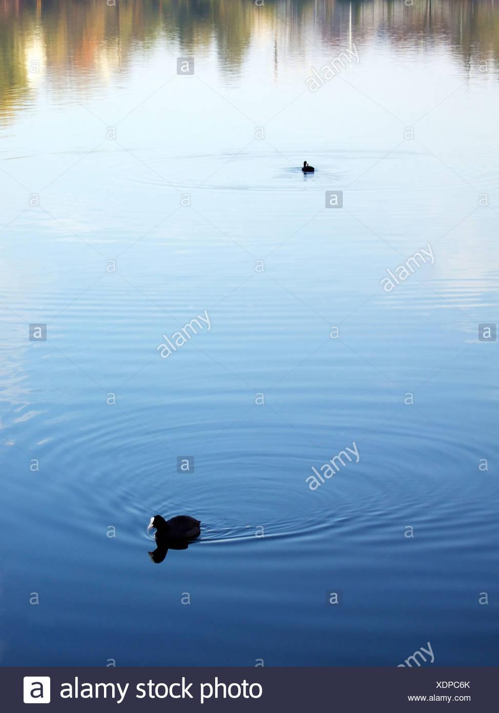 Berlin, zwei Blässhühner auf einem See schwimmen Stockbild