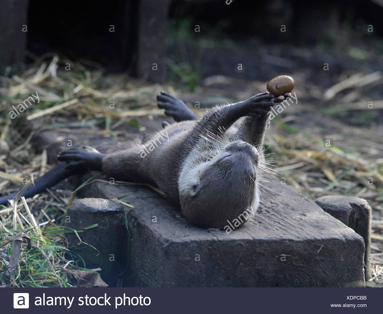 Eine junge juvenile asiatischen kurze krallenbewehrten Otter mit einem Kieselstein zu spielen. Stockbild