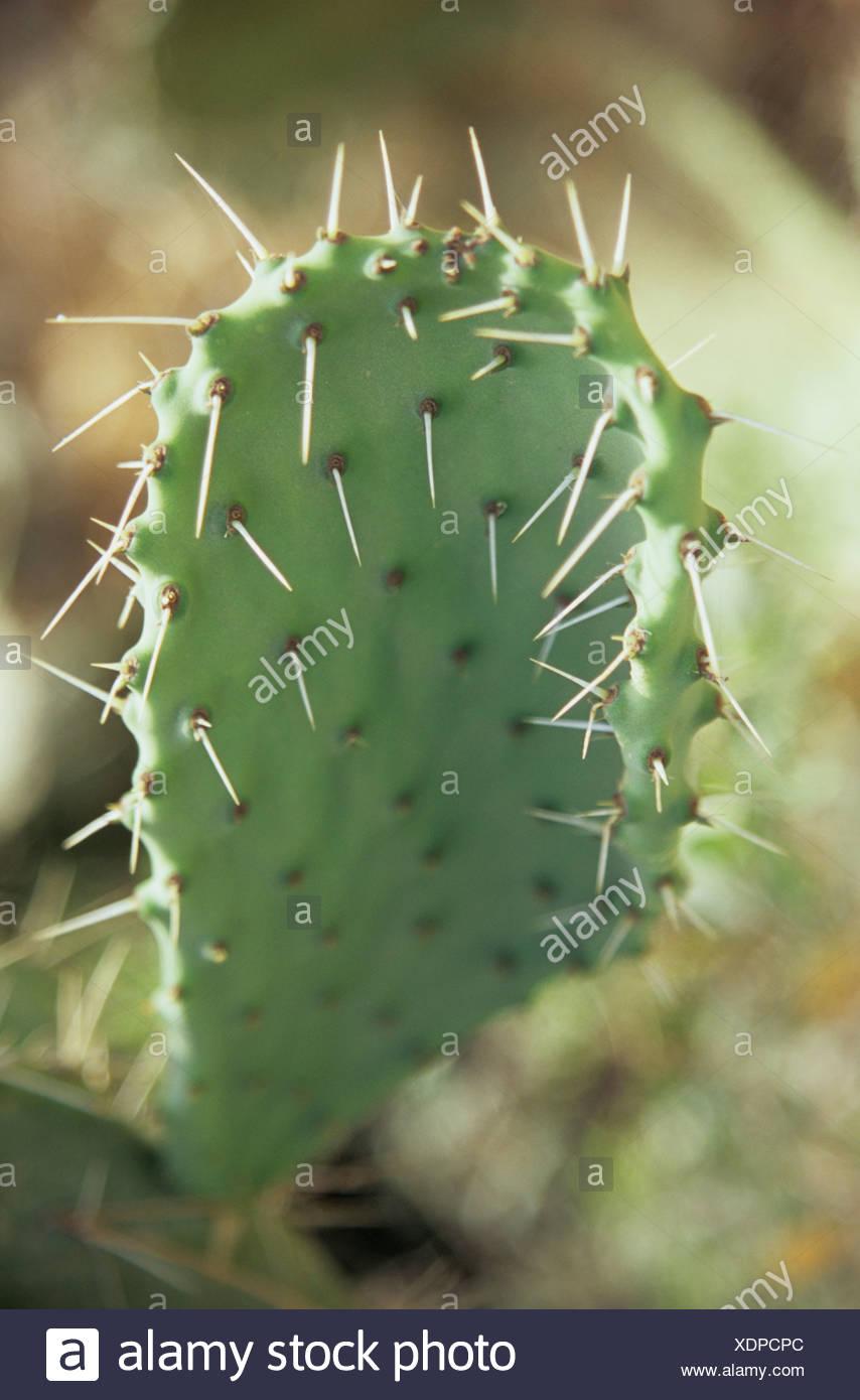 Italien, Sardinien, Kaktus Opuntia (Ficus-Indica), Nahaufnahme Stockfoto