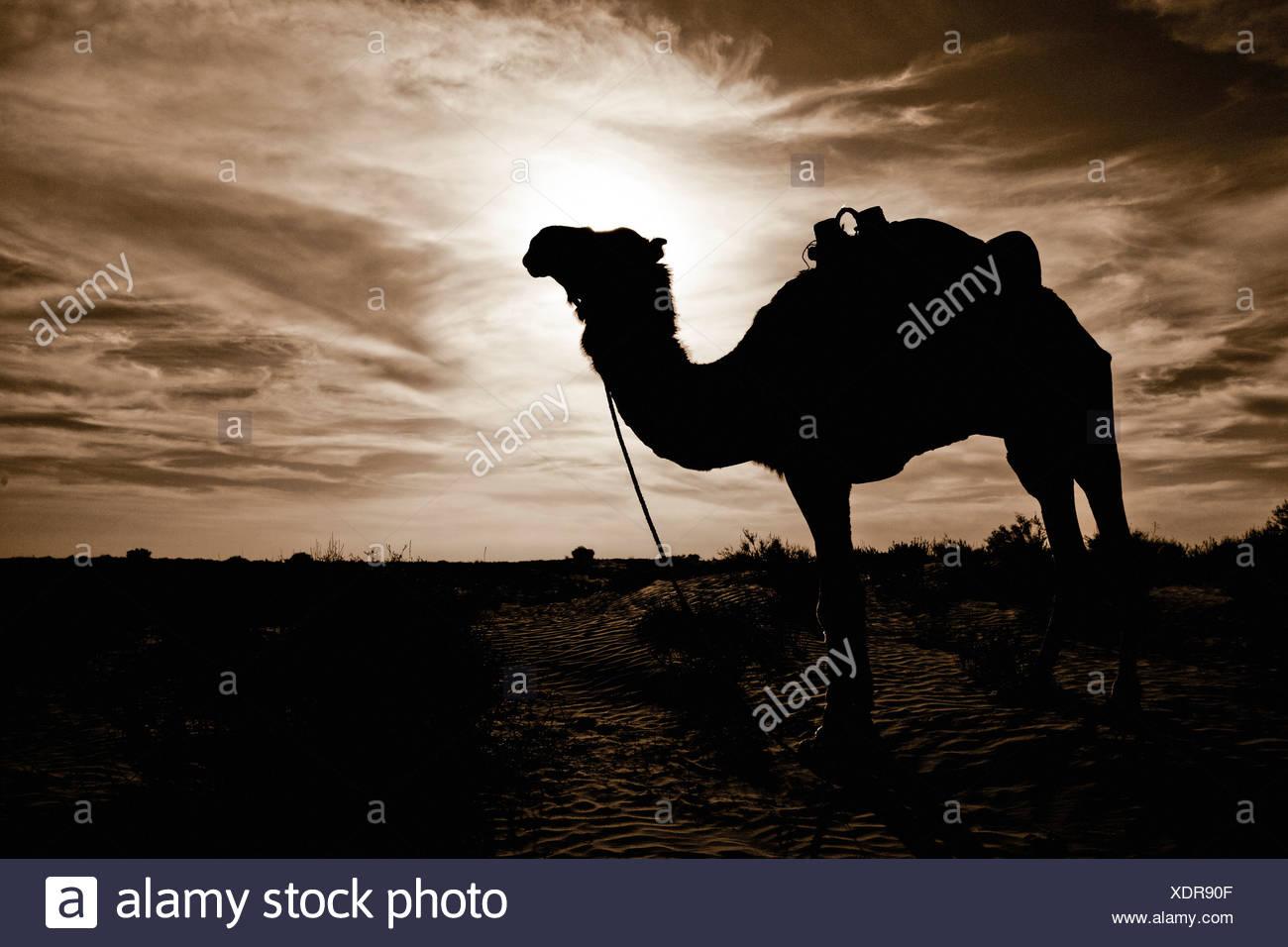 Silhouette Kamel, Wüste Sahara Douz, Tunesien Stockbild