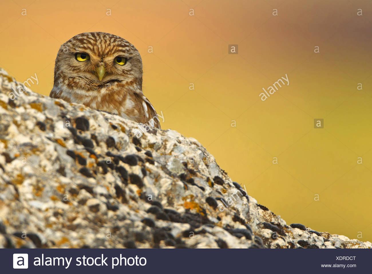 Steinkauz (Athene Noctua), spähte hinter einem Felsen, der Türkei, Sanliurfa Stockbild