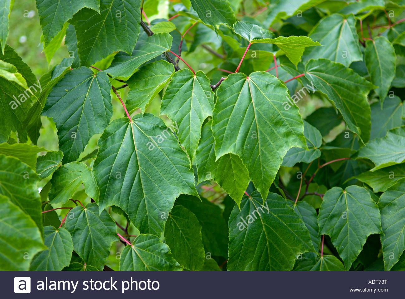 Projektspezifische Rufinerve (Acer Rufinerve), Zweig mit Blättern, Deutschland Stockbild