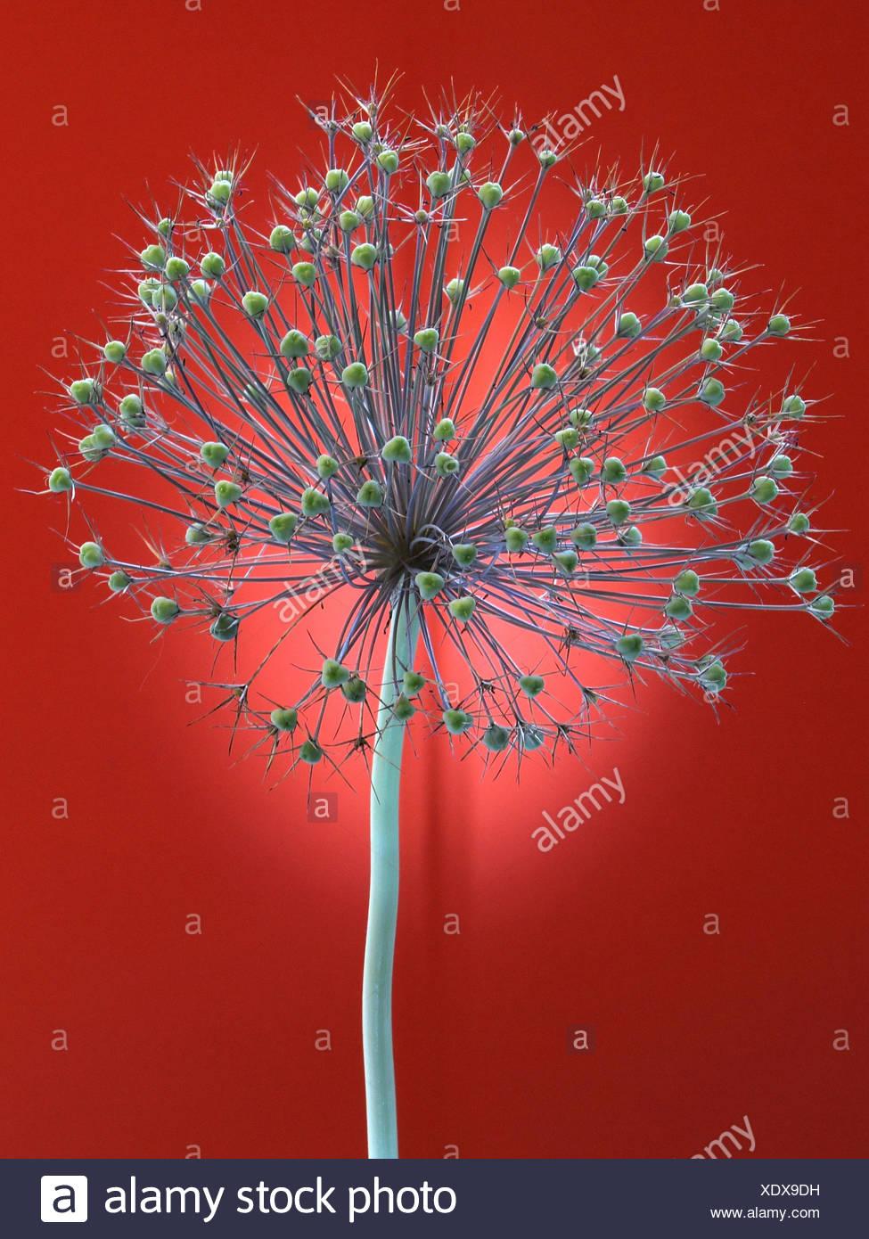 Blume, verwelkt, Allium, Konzept, Stern, Konzepte, Sterne, Licht, rot, entfremdet Stockbild