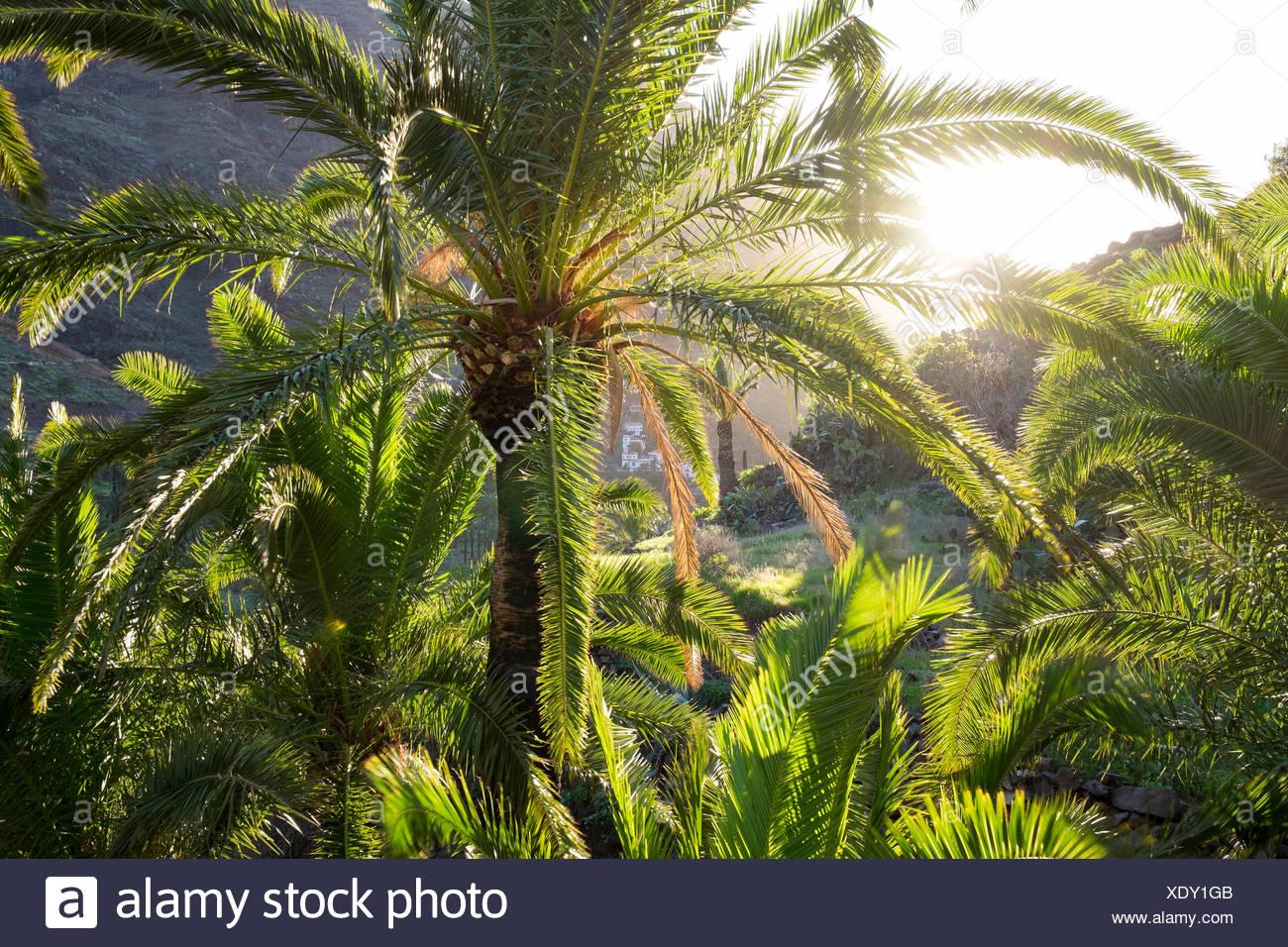 Kanarische IsRMand Datum PaRMm (Phoenix Canariensis), VaRMRMe Gran Rey, RMa Gomera, Kanarische IsRMands, Spanien Stockbild