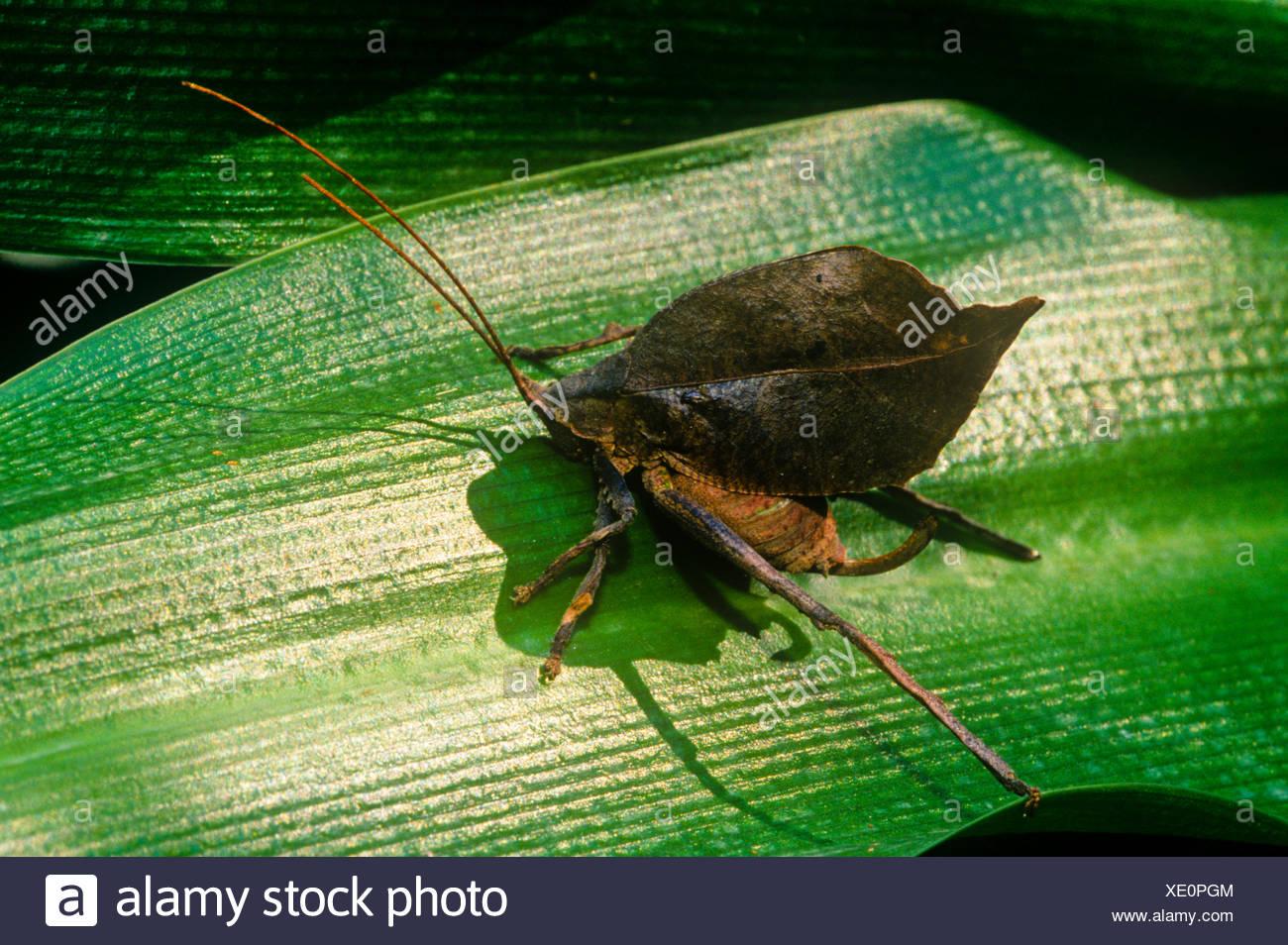 Tote Blätter nachahmen Grashuepfer, Typophyllum SP. (Tettigoniidae), getarntes braun, Costa Rica. Stockbild