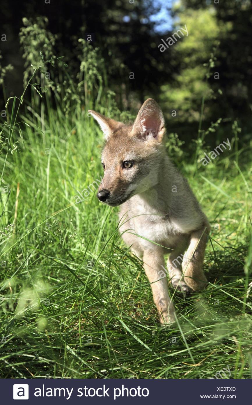 Gefangenschaft Kojote (Canis Latrans) Welpe läuft auf der Wiese; Kalispell, Montana, Vereinigte Staaten von Amerika Stockbild