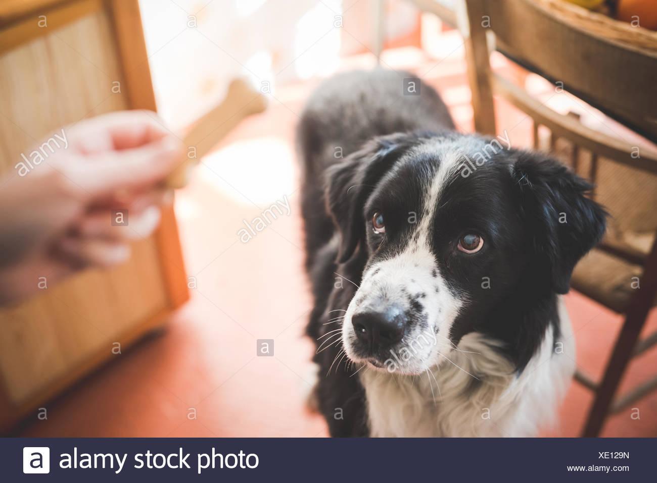 Porträt des Hundes starrte an Hand der Eigentümer und Hundekuchen Stockbild