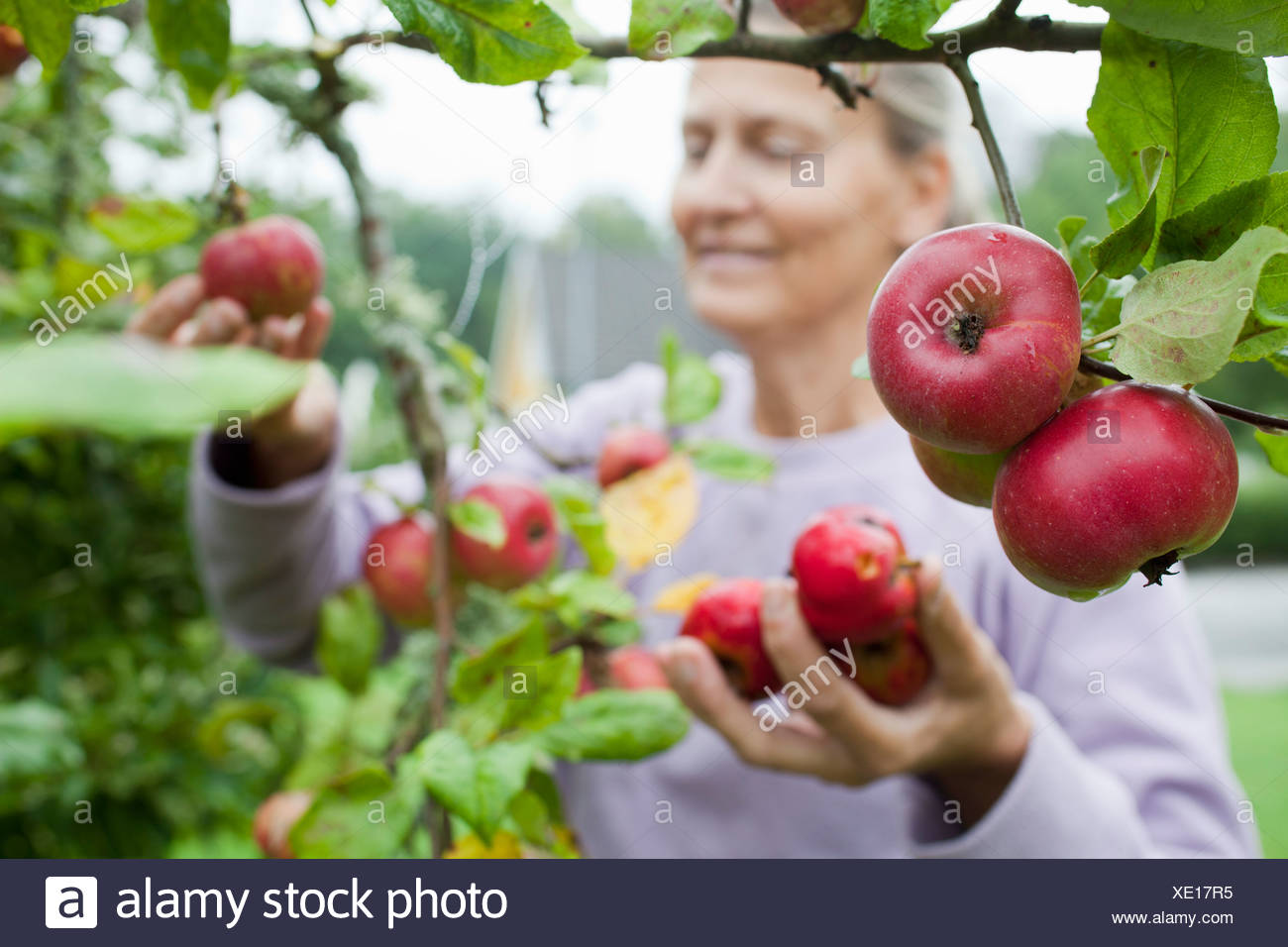 Ältere Frau, die Frucht vom Baum pflücken Stockbild