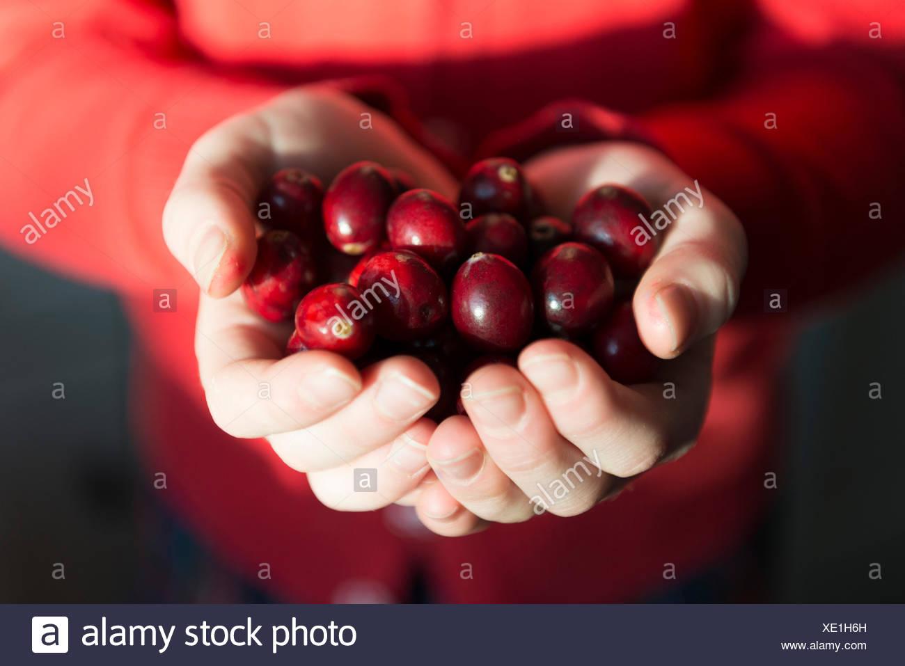 Frische Cranberries in Händen gehalten. Stockbild