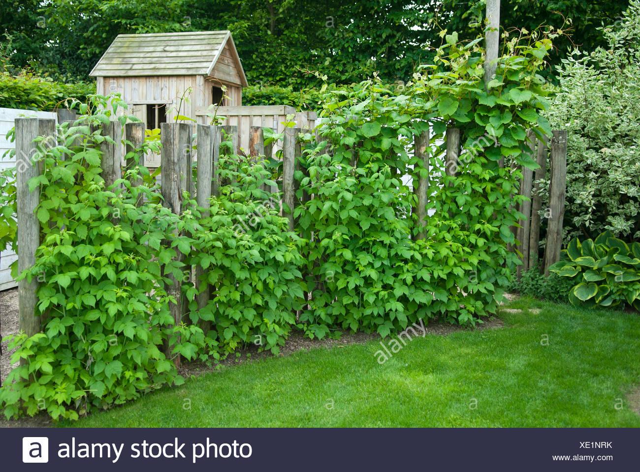 europ ische rote himbeere rubus idaeus himbeerstr ucher. Black Bedroom Furniture Sets. Home Design Ideas