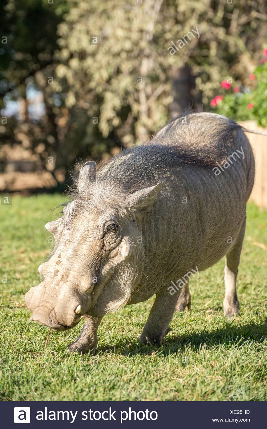 Ein zahmen Warzenschwein auf dem Rasen Stockbild