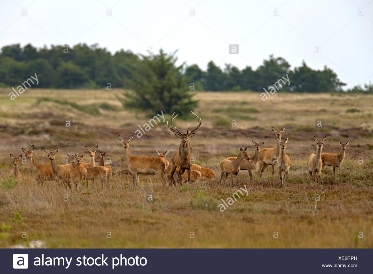 Rothirsch (Cervus Elaphus), Gruppe mit einem Hirsch und viele Hirschkühe und Kälber auf einer Wiese, Dänemark, Jylland Stockbild
