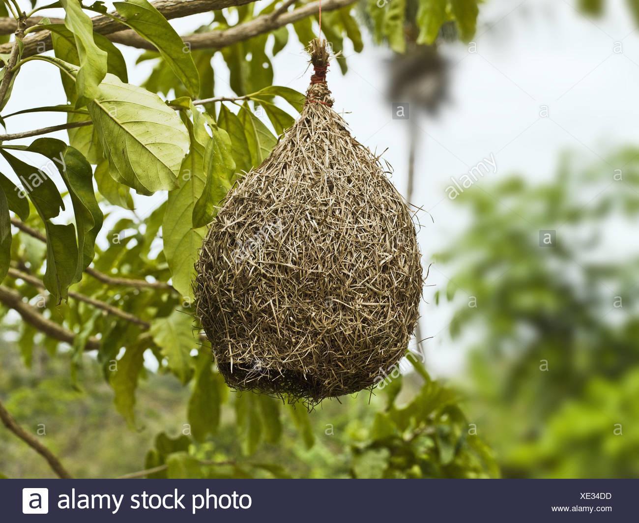 hanging nest stockfotos hanging nest bilder alamy. Black Bedroom Furniture Sets. Home Design Ideas