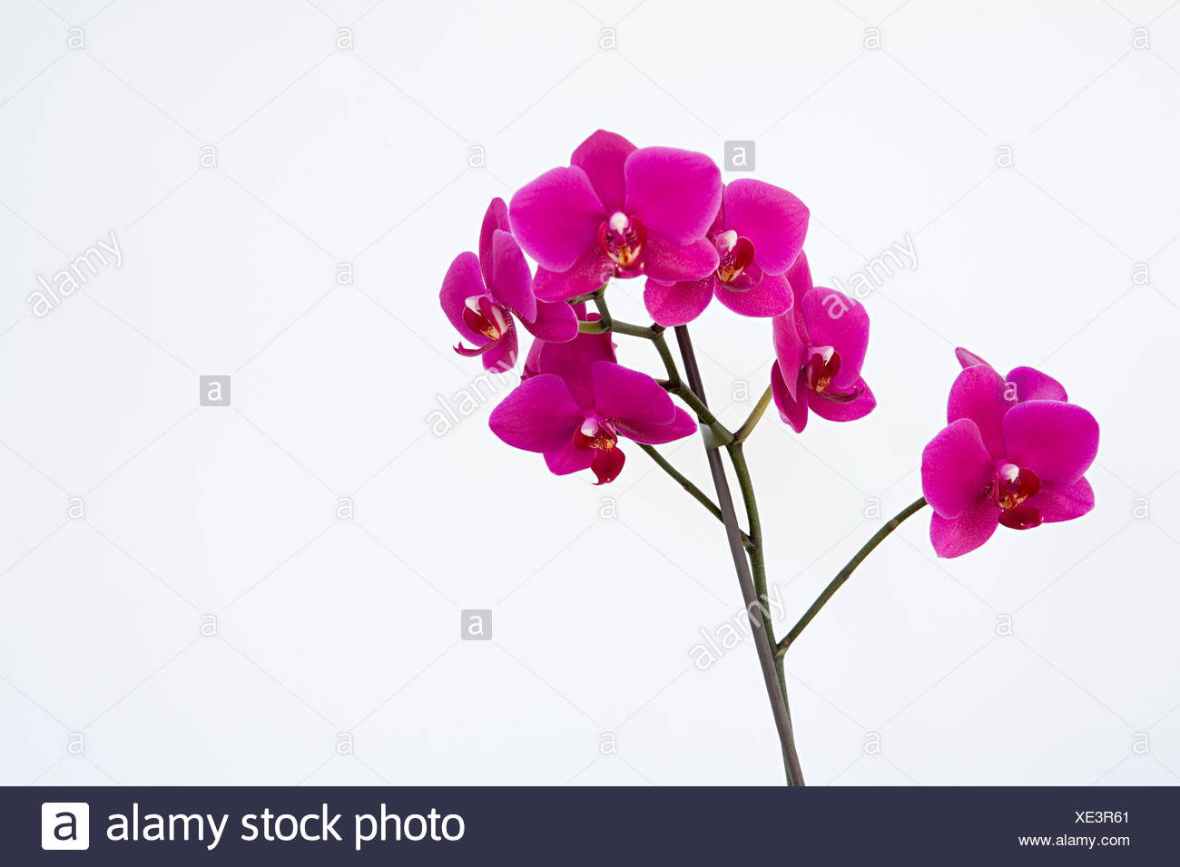 Rosa Orchideen Stockbild