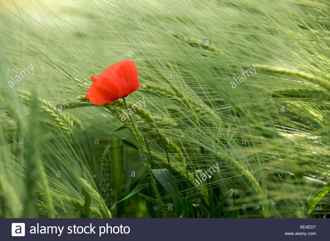 Einzelne rote Mohnblume im Feld Stockbild