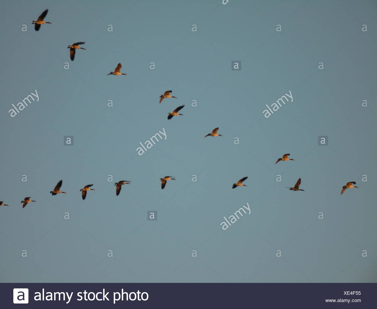 birds flying in v formation stockfotos birds flying in v formation bilder alamy. Black Bedroom Furniture Sets. Home Design Ideas