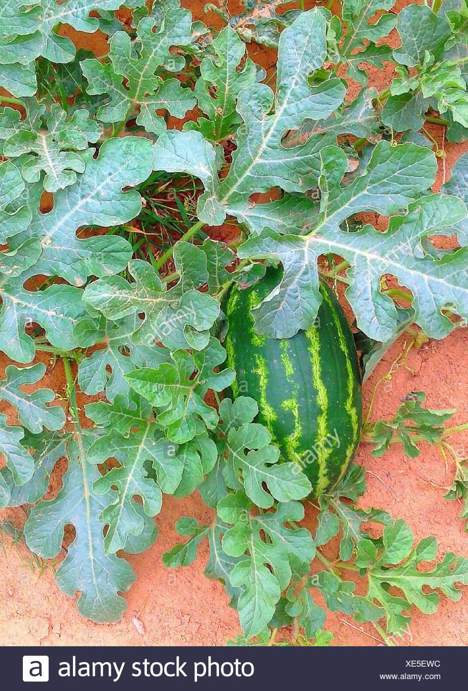 USA, Texas, Dimmit County, Wassermelonen wachsen auf Feld Stockbild