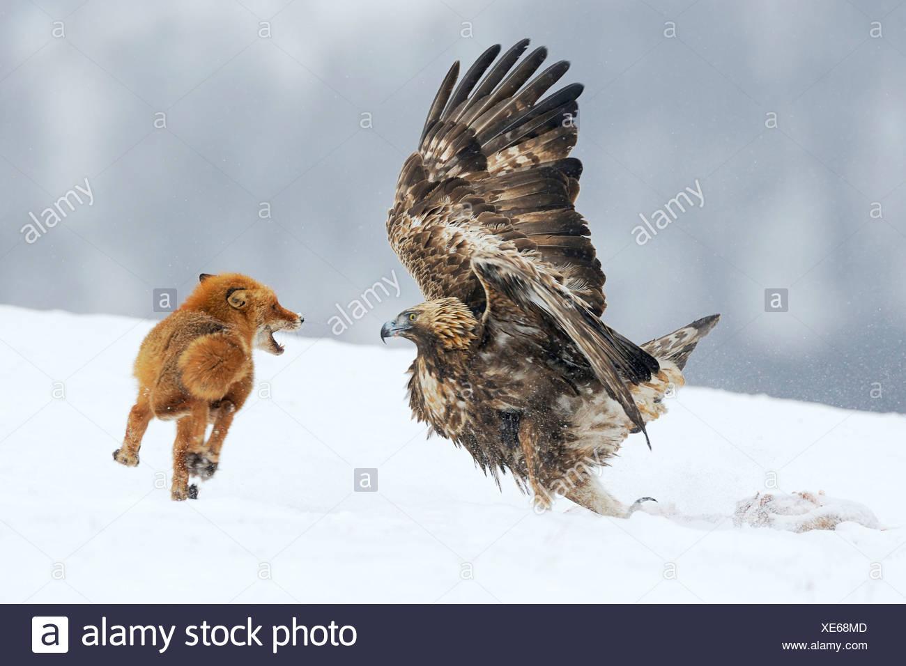 Steinadler (Aquila Chrysaetos) kämpfen mit einem Rotfuchs (Vulpes Vulpes) über einen Kadaver, Naturpark Sinite Kamani, Bulgarien Stockbild