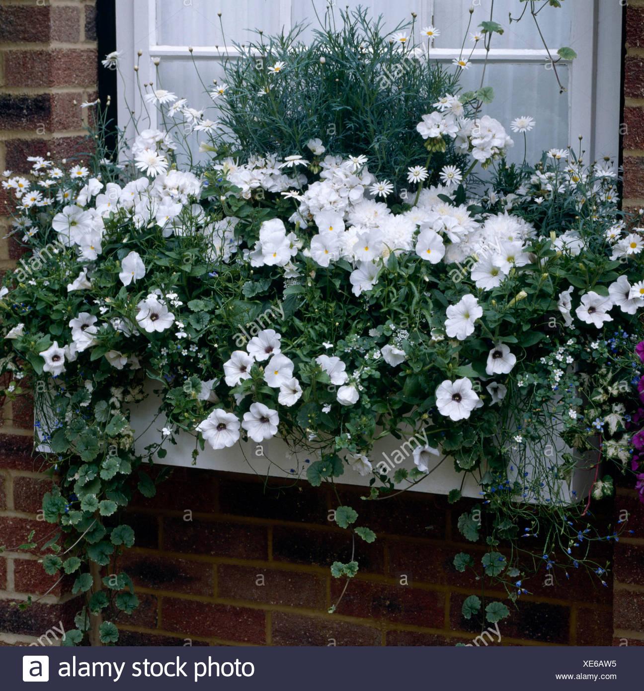 blumenkasten bepflanzt mit petunien pelargonien und. Black Bedroom Furniture Sets. Home Design Ideas