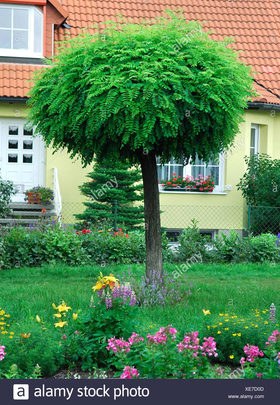 robinie gemeinsame heuschrecke robinie robinia pseudo akazie robinia pseudoacacia robinia. Black Bedroom Furniture Sets. Home Design Ideas