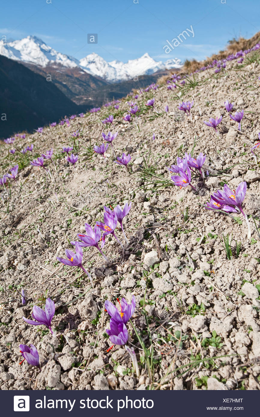 Blühenden Safran-Krokus (Crocus Sativus) auf den kleinen Safran Feldern der Gemeinde Munder in den Bergen des Kantons Stockbild