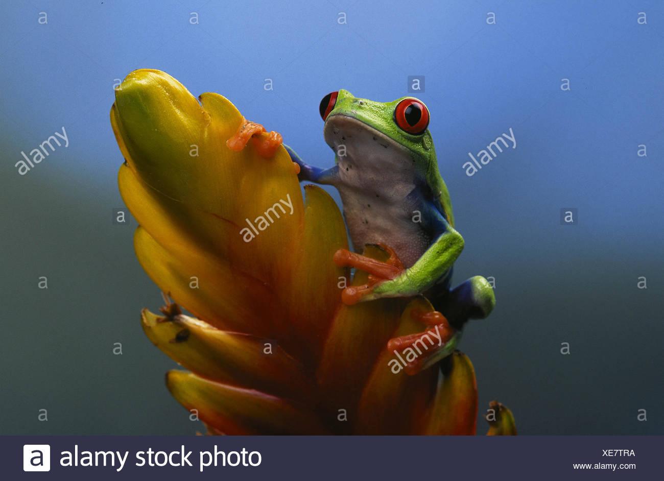 Rotäugigen Baumfrosch Stockbild