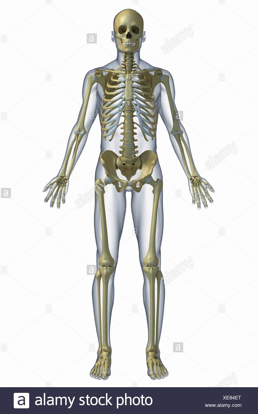 Schön Anatomie Fakten über Den Menschlichen Körper Bilder - Anatomie ...