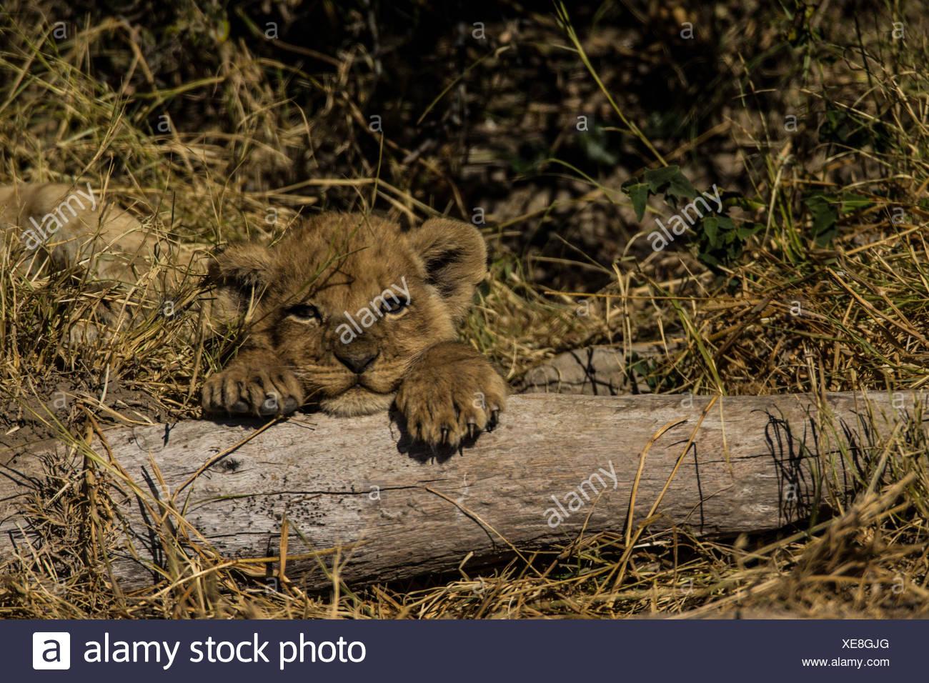 Ein Löwenjunges, Panthera Leo, ruht auf einem Baumstamm. Stockbild